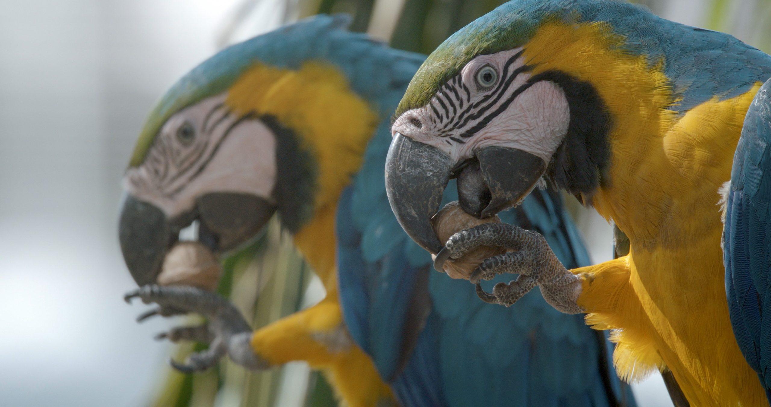 Horny Parrot